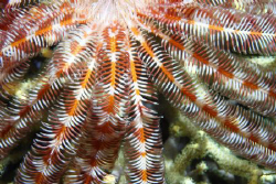Feather Star by Ron Monaco 